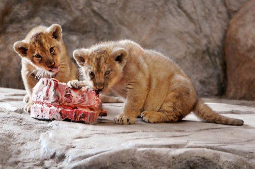 dos bebés pequeños leones